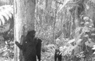 Cámara trampa registró presencia de familia de osos de anteojos en San Agustín