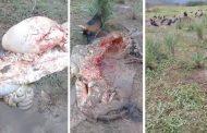 Denuncian nuevo caso de carneo ilegal en finca ganadera de Garzó